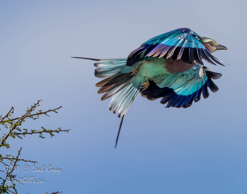 Lilac-Breasted Roller Decorates the Sky