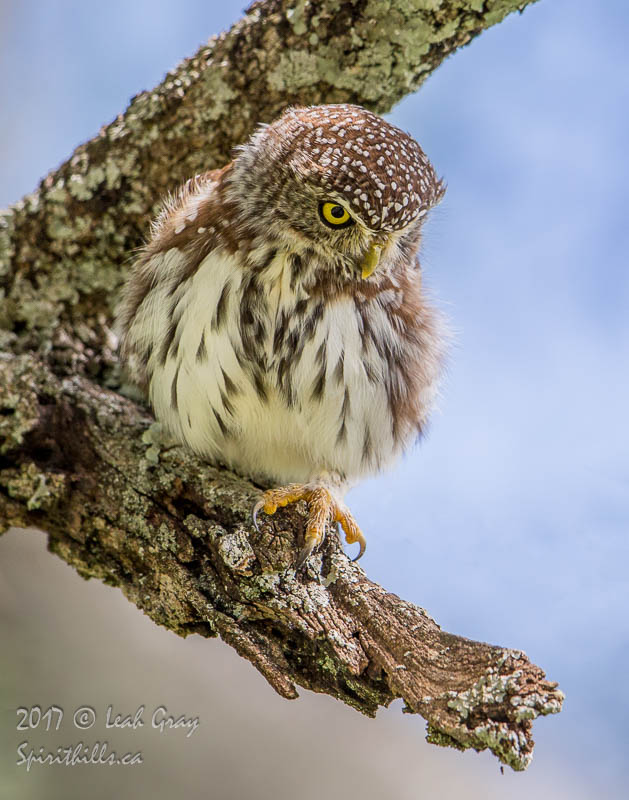Pearl-spotted Owlet with Big Ideas
