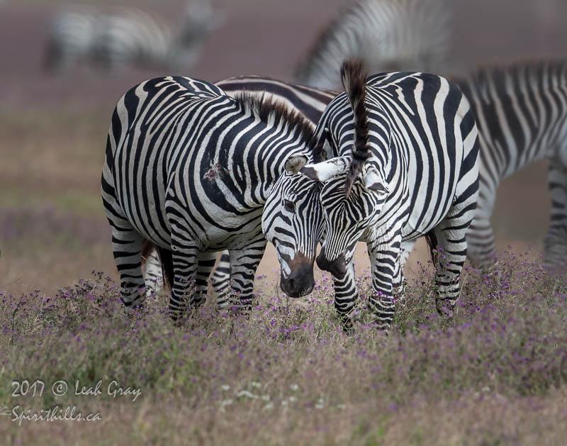 Zebras: Graceful Secret