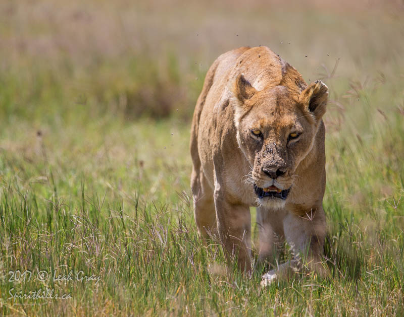 Lioness with Intent