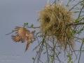Rufous-Tailed WeaverComes Home
