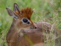Male Dik Dik shows off