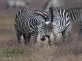 Zebras: Graceful Secret