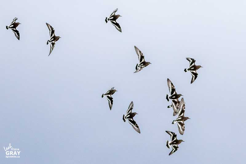 Black Turnstones