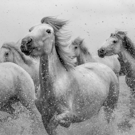 Photograph of horses running in water