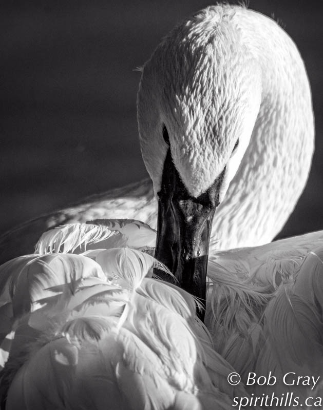 A close-up photograph of a Trumpeter Swan