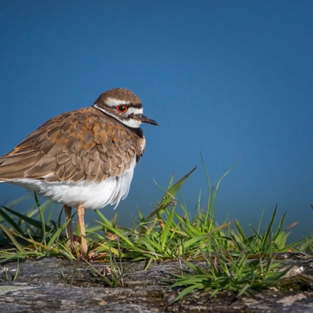Killdeer from Alberthead Lagoon