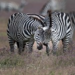 Zebras touching noses in Tanzania