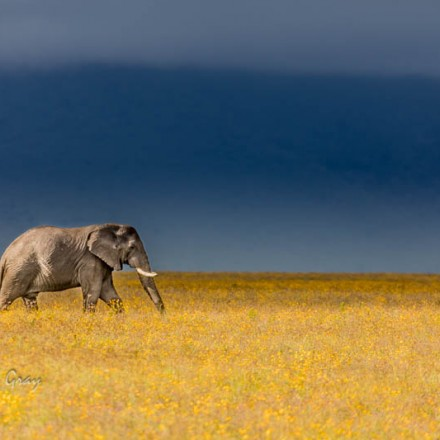 Elephant in the Ngorongoro Crater, Tanzania