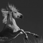 Stallion from the Camargue, France