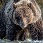 A Grizzly Bear fishing for salmon